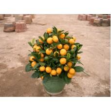 Chinese New Year plants (Mini Size)